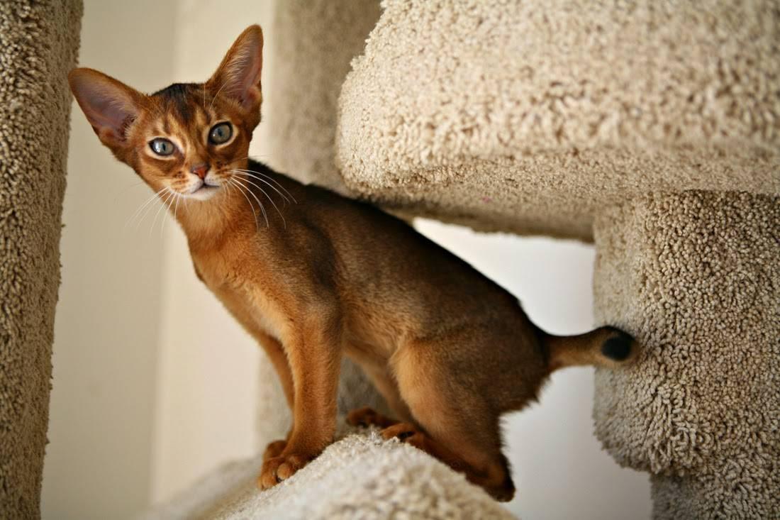 Абиссинская кошка: описание, характер, окрасы с фото