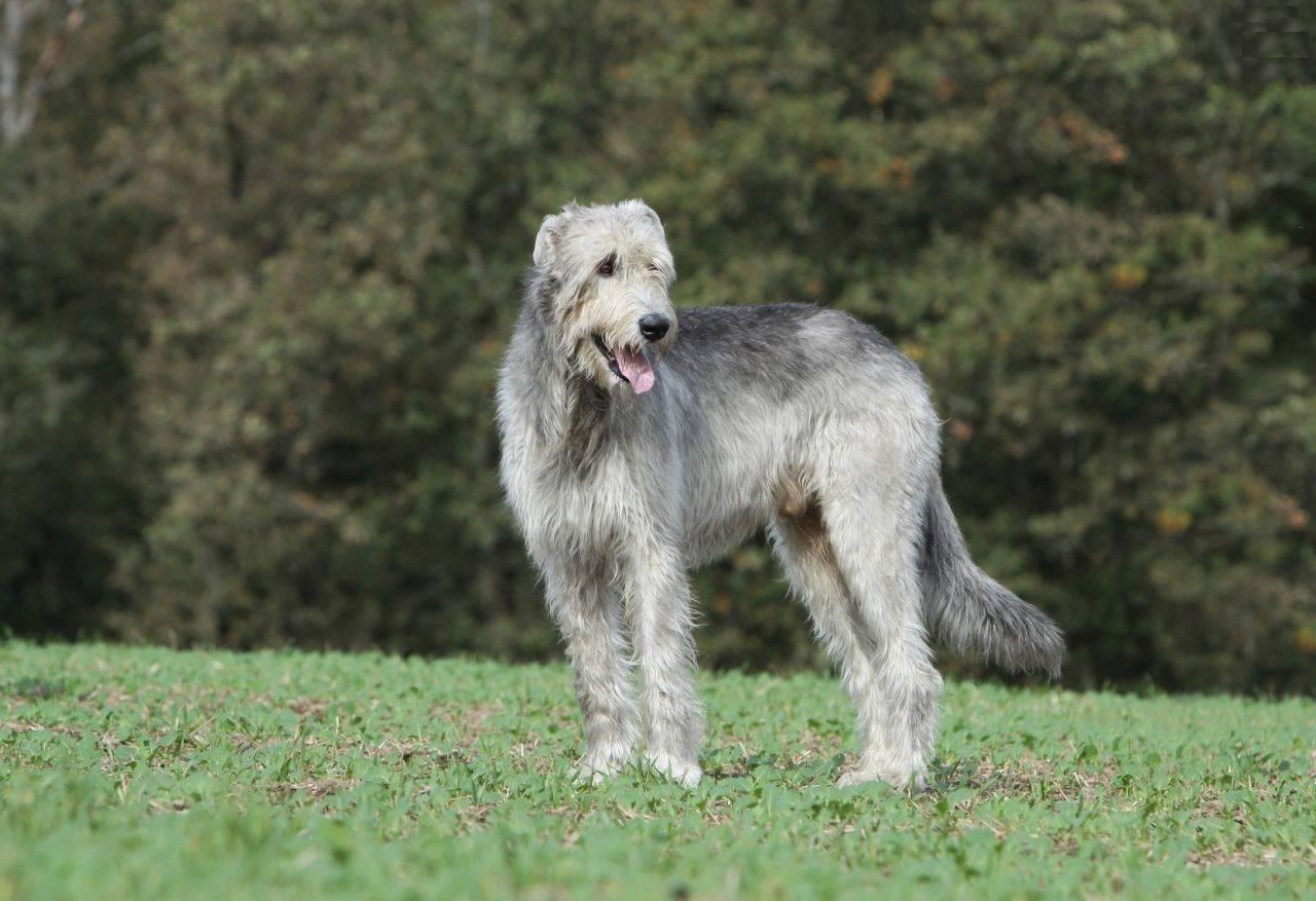 Ну, волк, погоди. собака породы ирландский волкодав