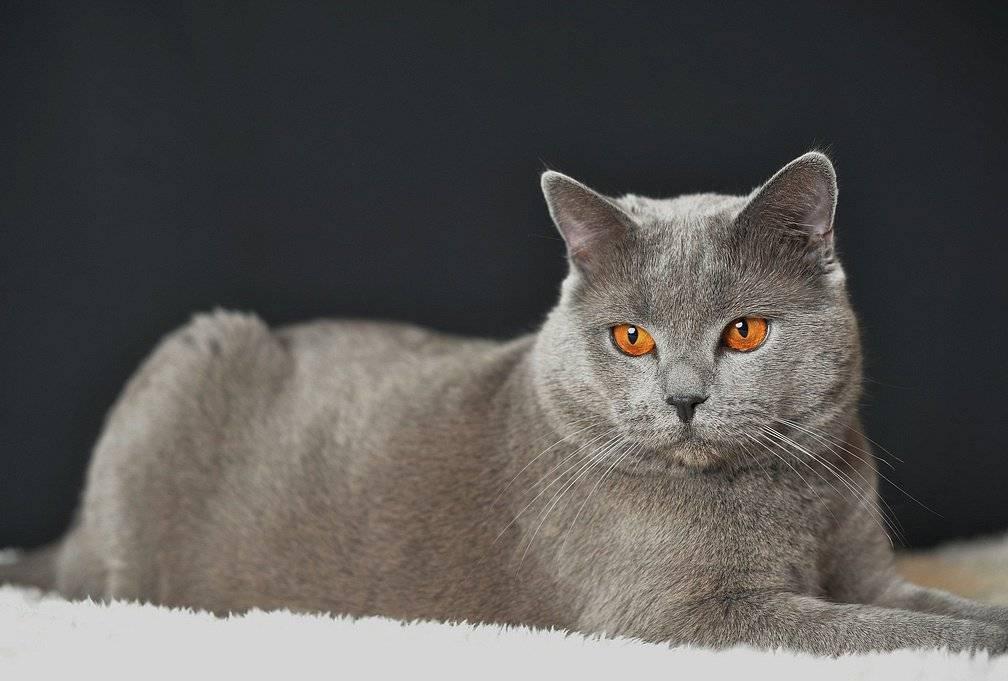 Шартрез - порода кошек - информация и особенностях | хиллс