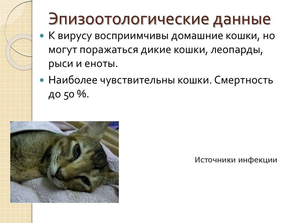 """Гепатит кошек - симптомы, причины и лечение гепатита у кошек в москве. ветеринарная клиника """"зоостатус"""""""