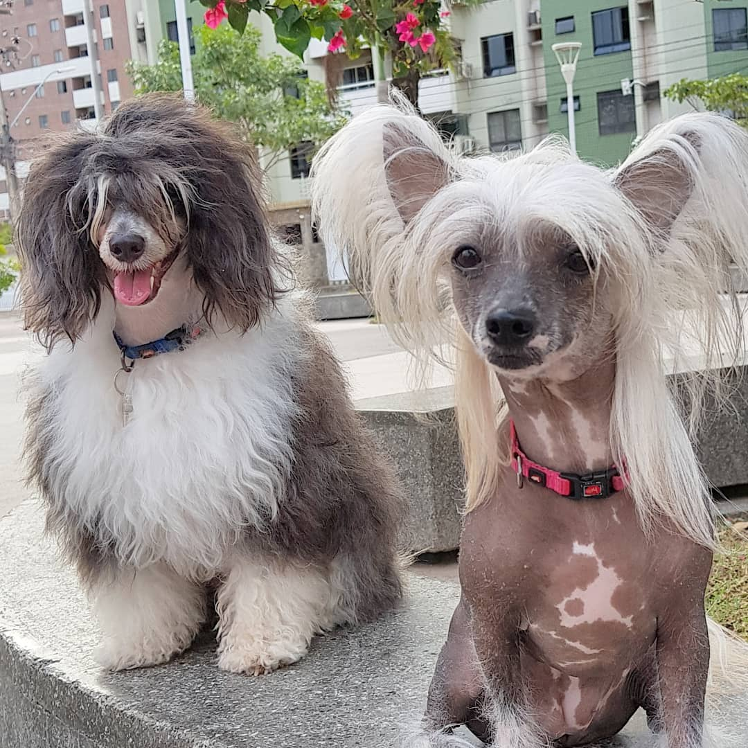 Китайская хохлатая собака (японская пуховая)