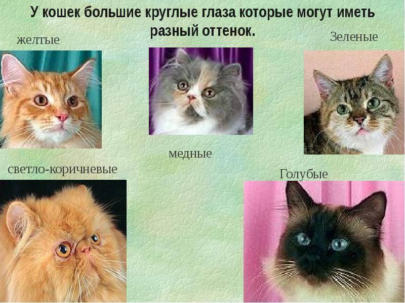 Черные коты — особенности окраса шерсти и цвета глаз