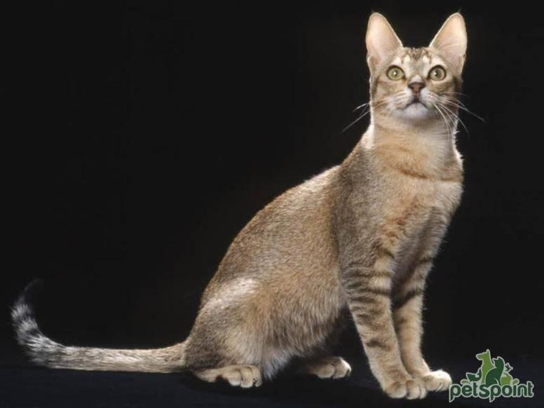 Цейлонская кошка – интересные факты о породе