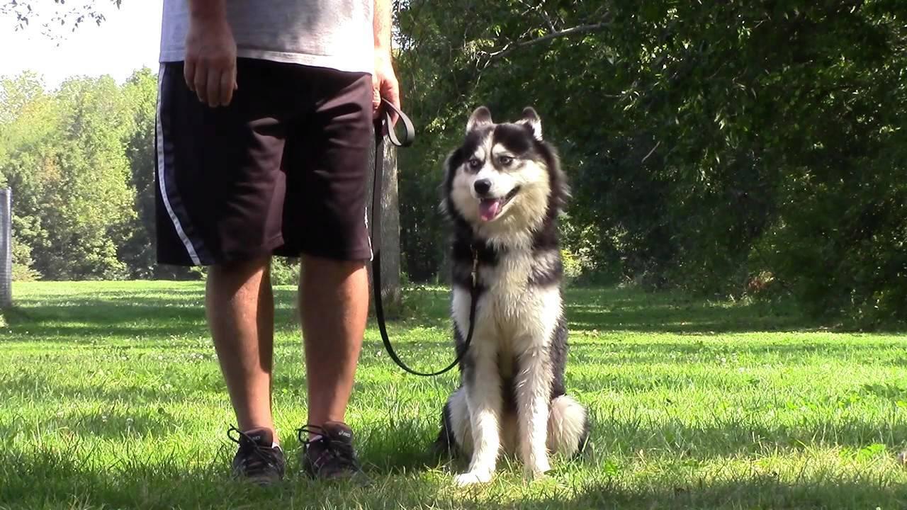Как понять кого собака выбрала хозяином или как стать вожаком