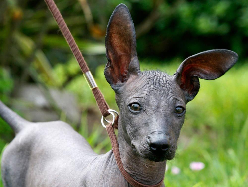 Особенности ухода за лысыми собаками: китайская хохлатая, голый американский терьер, мексиканская и перуанская лысая собака