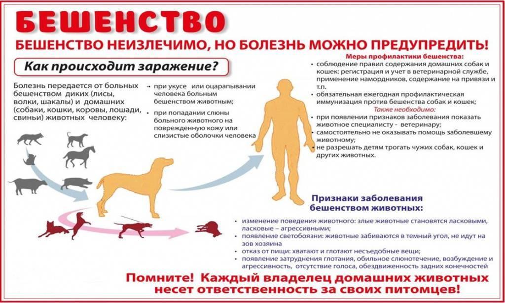 Укус кошки: опасность для человека, симптомы бешенства, лечение