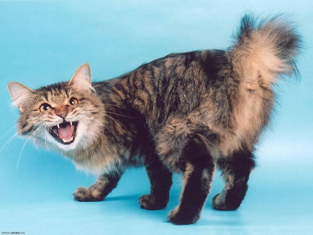 Кошки бобтейл: характеристика, окрасы и уход