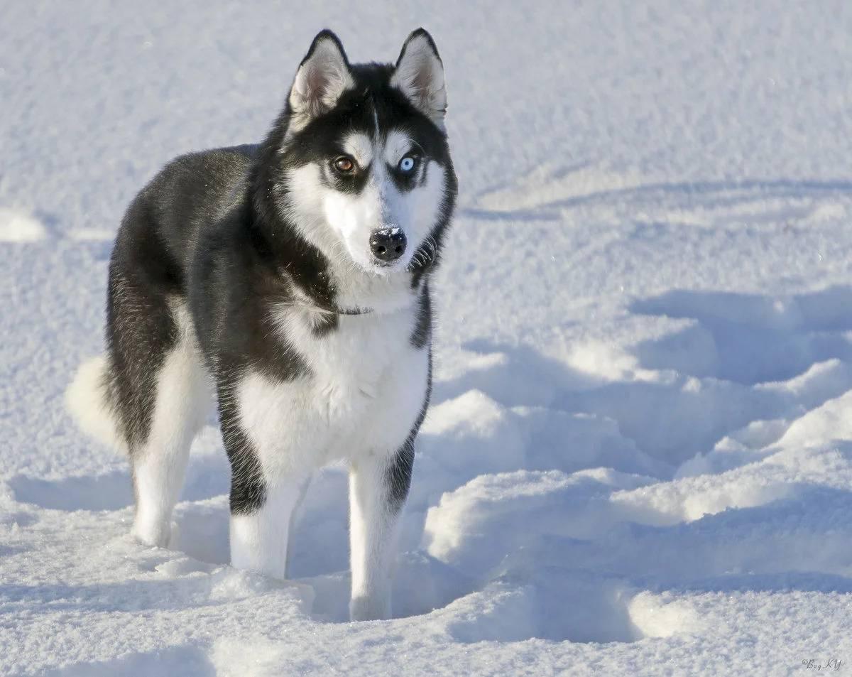Аляскинский кли кай собака. описание, особенности, уход и цена аляскинского кли кая