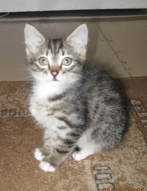 Как назвать серого котёнка мальчика или девочку: популярные, красивые и прикольные клички