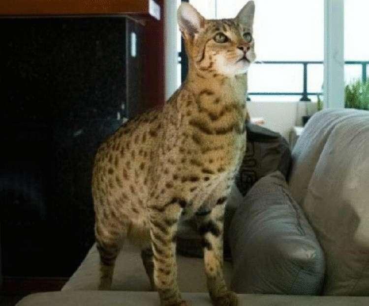 """Самая дорогая порода кошек (фото): """"золотые"""" мурлыки - kot-pes"""