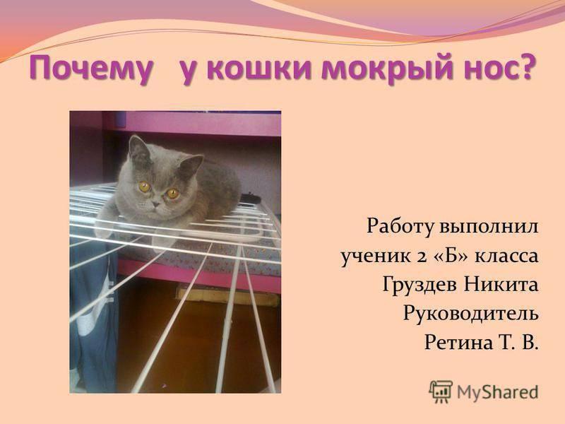Сухой нос и горячие уши у кошки: причины и первая помощь животному