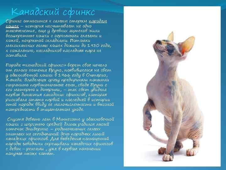 Канадский сфинкс: описание и характер породы, особенности ухода