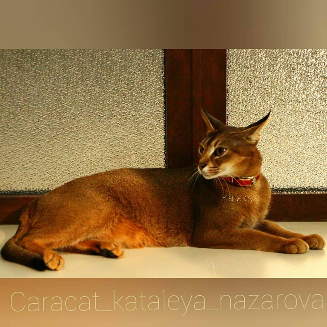 Домашние кошки с обликом рыси – кого завести, чтобы не быть укушенным