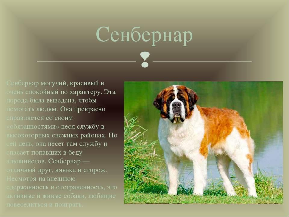 Сенбернар – энциклопедия о собаках
