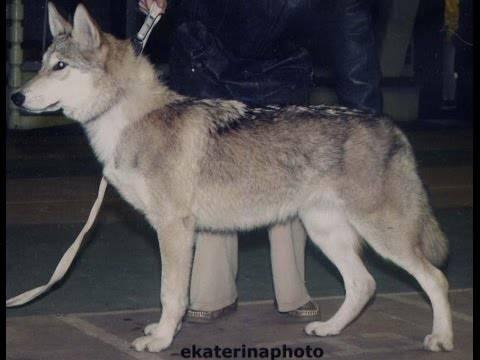 Существуют ли помеси собак и волков: название породы и внешность гибрида