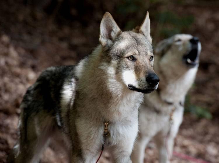 Чехословацкая волчья собака (чешский влчак): стандарт породы, икак подружиться с«ягненком» вволчьей шкуре