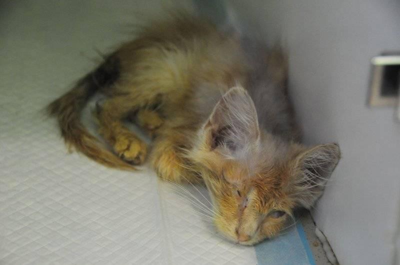 Чумка (панлейкопения) у кошек и котов: симптомы и лечение