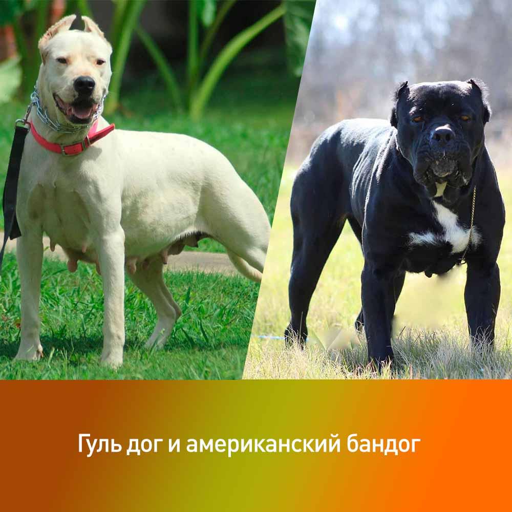 Самые опасные собаки в мире: топ-10 | фото