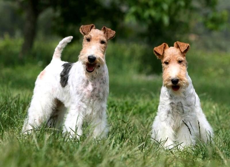 Фокстерьер гладкошерстный: описание, характер, уход   все о собаках