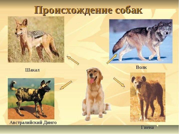 «золотые» породы: самая дорогая собака в мире