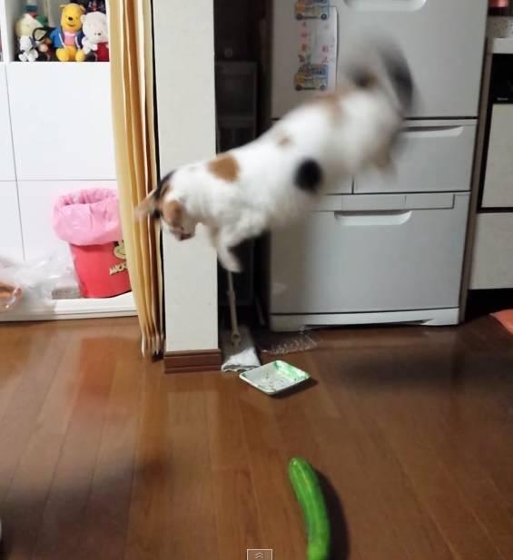 Причины почему коты боятся огурцов - kotiko.ru