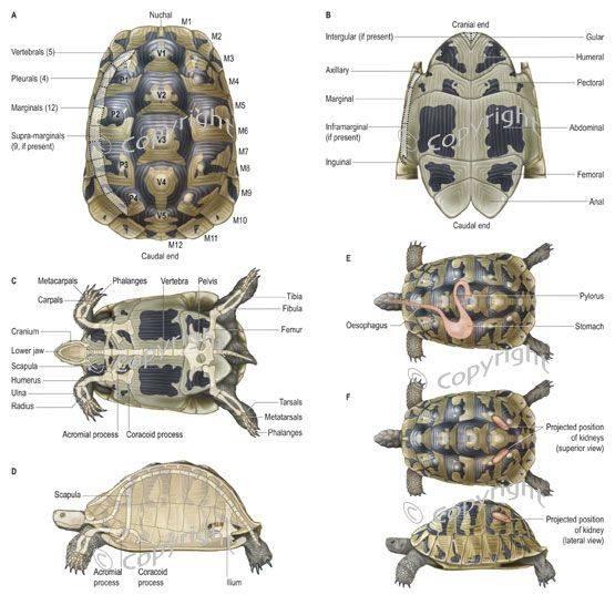 Строение кожного покрова, мускулатуры, клюва, когтей черепах