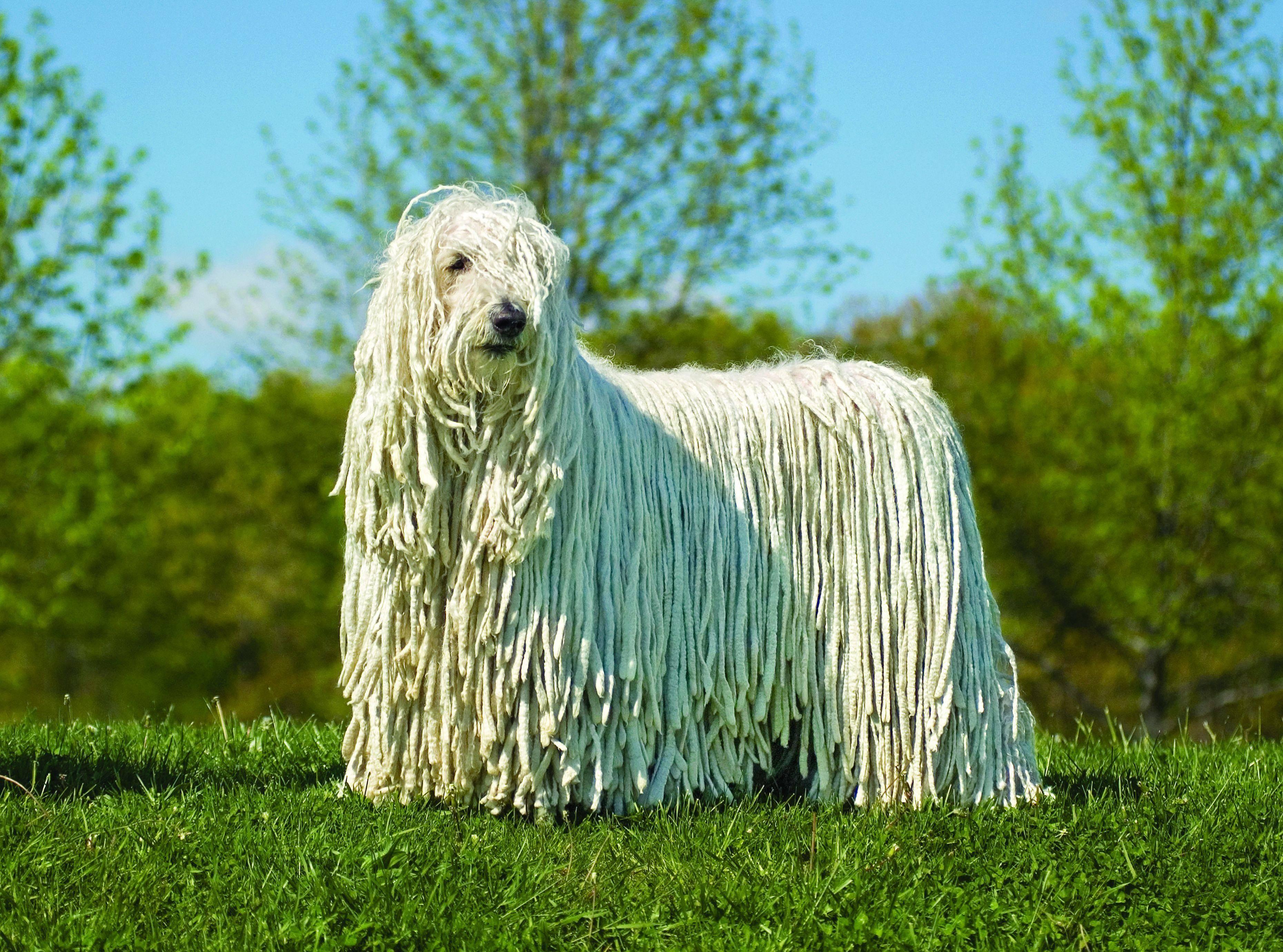 Венгерская овчарка (комондор): описание породы с фото, характеристика и характер, особенности ухода, содержания и отзывы владельцев