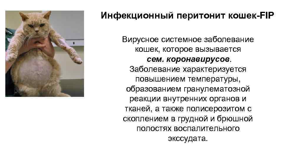 Вирусный перитонит у кошек: симптомы и лечение