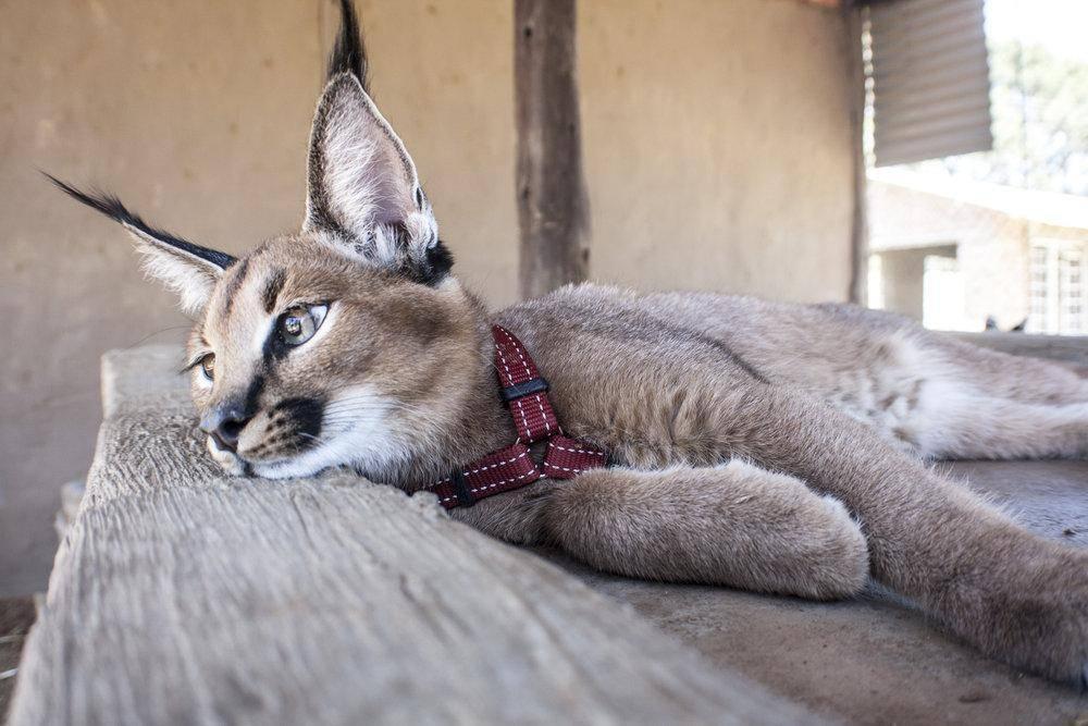 Котята каракалы: цена домашнего питомца и правила ухода