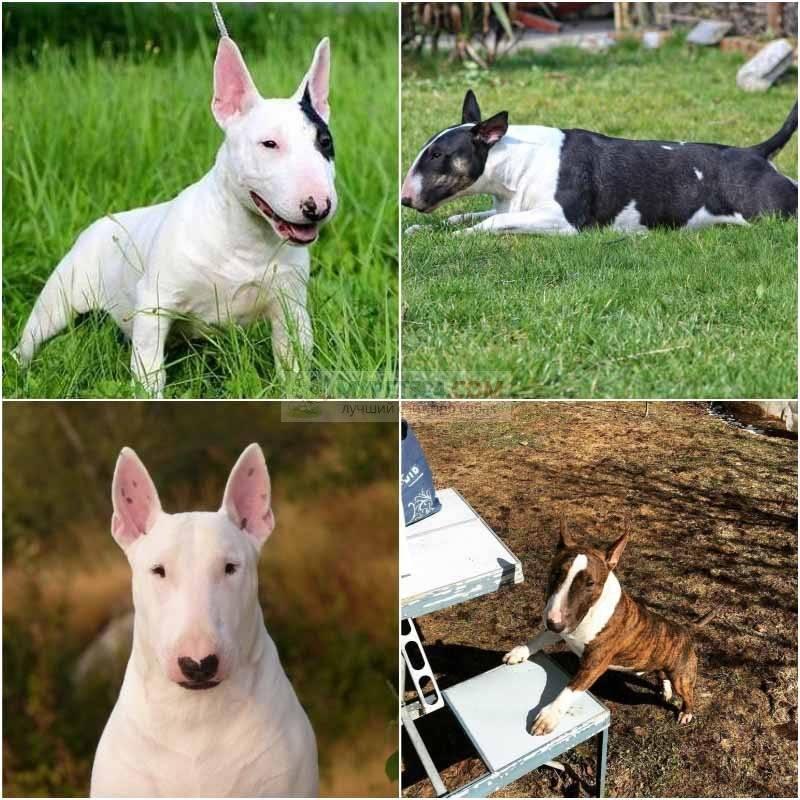 Миниатюрный бультерьер: вся правда о породе, фото собаки, особенности ухода