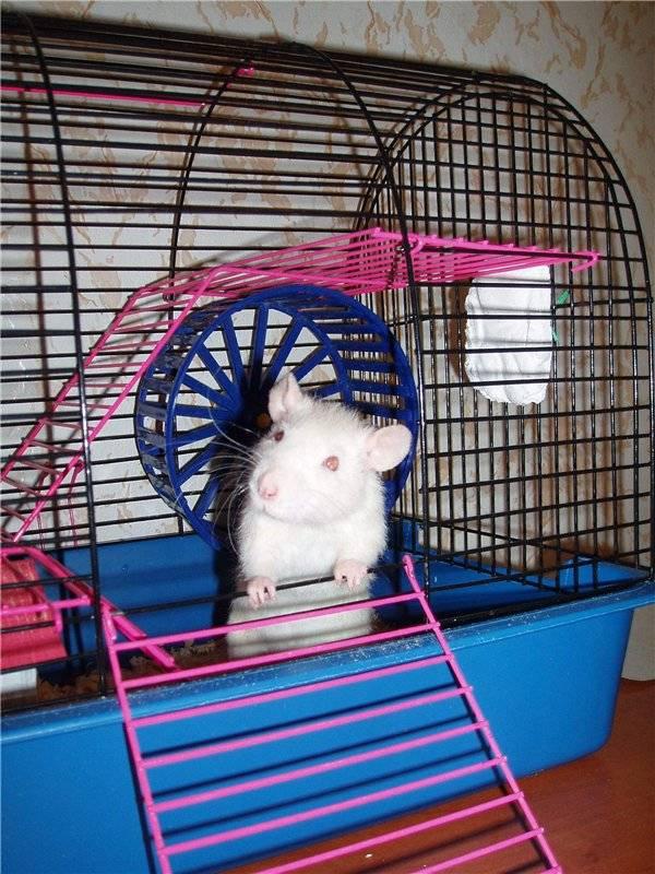 Сколько стоит домашняя крыса и дорого ли ее содержать? - люблю хомяков