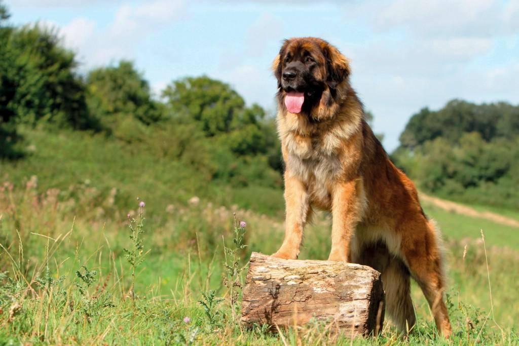 Описание породы собак леонбергер: характер, уход, предназначение