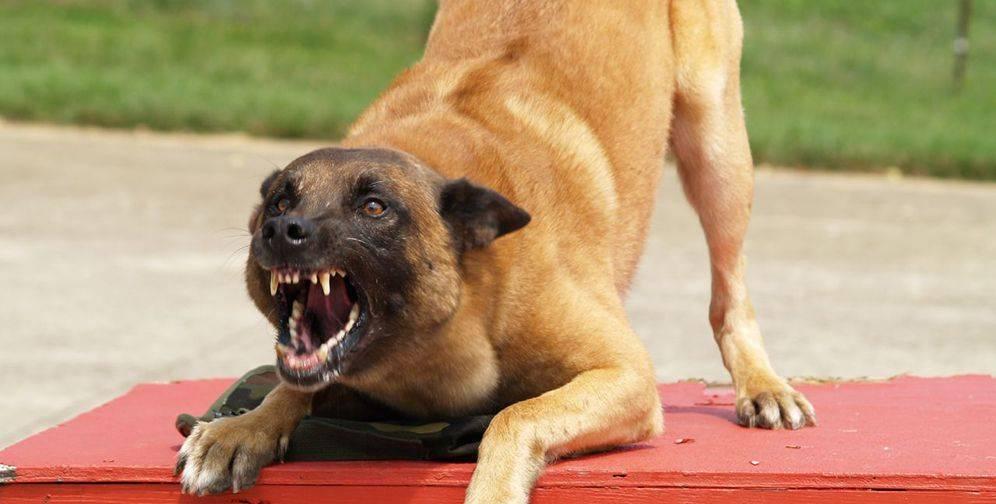 Топ 8 самых опасных собак в мире, с которыми лучше не связываться: новости, животные, собаки, животное, собака, порода, породы, домашние животные
