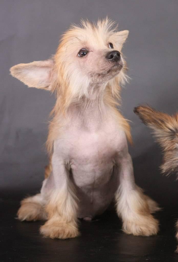Пуховая китайская хохлатая собака (кхс): история, характер. фото
