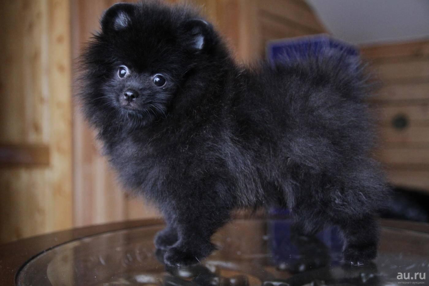 Окрасы шпицев (24 фото): черно-белый и мраморный, патиколор и голубой, серый, оранжевый и другие окрасы щенков