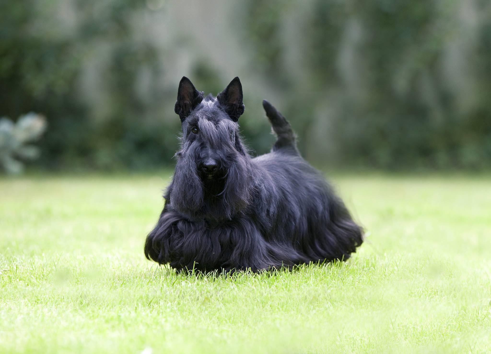 Шотландский или скотч терьер: фото и описание породы собак шотландский или скотч терьер: фото и описание породы собак