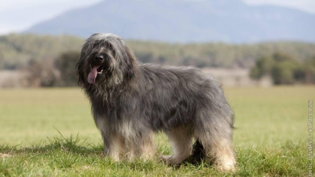 Порода собак среднеазиатская овчарка алабай: фото, видео и описание стандарта породы, характер собак