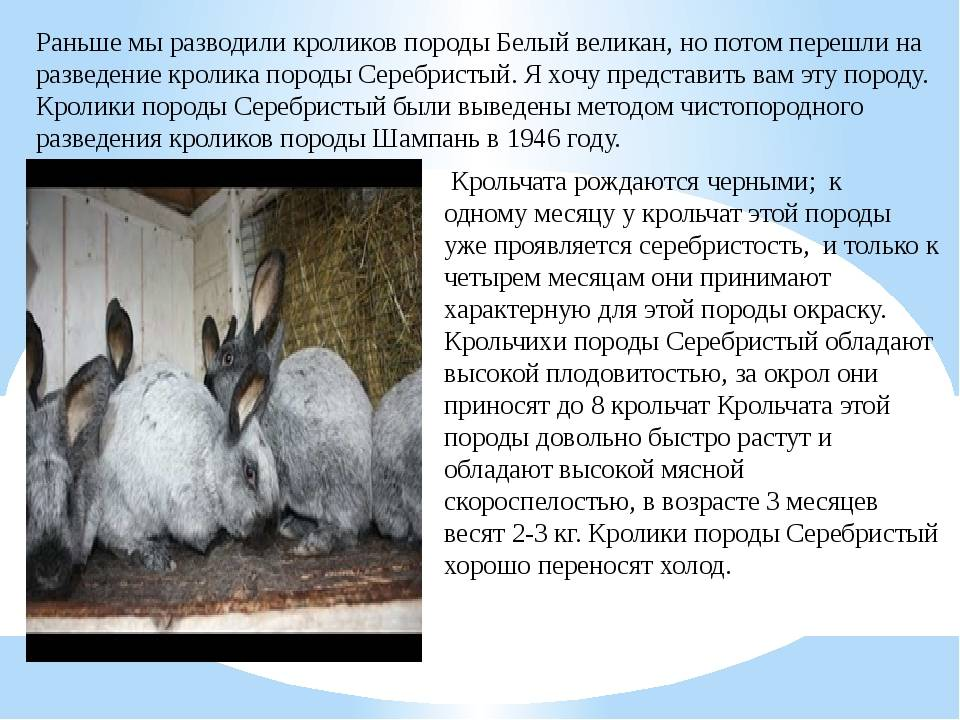 Кролики породы серый великан: описание, содержание и разведение