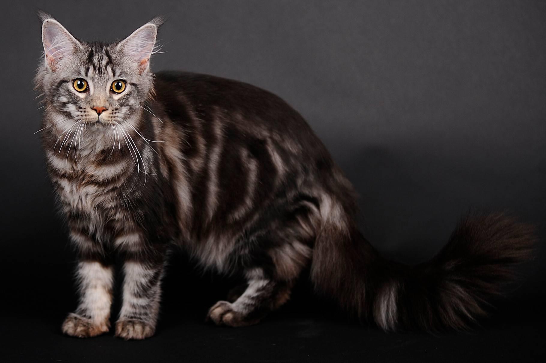 Окрас табби у кошек: виды и классификация, у каких пород встречается окрас табби у кошек: виды и классификация, у каких пород встречается