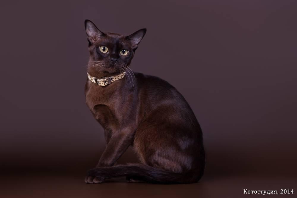 Бурманская кошка - фото и описание (характер, уход и кормление)