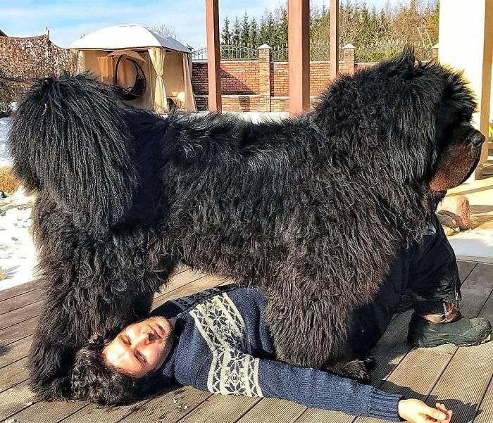 Тибетский мастиф: фото, характеристика, вес, рост