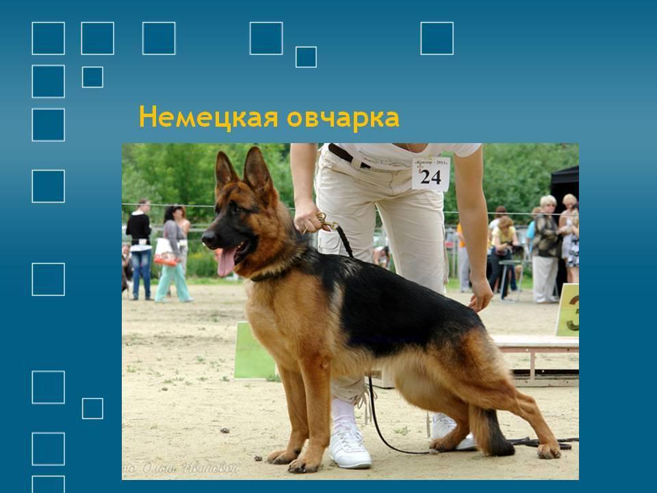 Московская сторожевая: характеристика породы, вес и окрас, отличие от похожих собак
