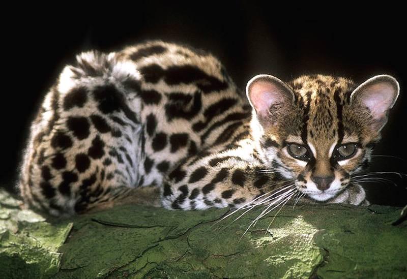 Все что необходимо знать об дикой породе кошек оцелот: подробное описание