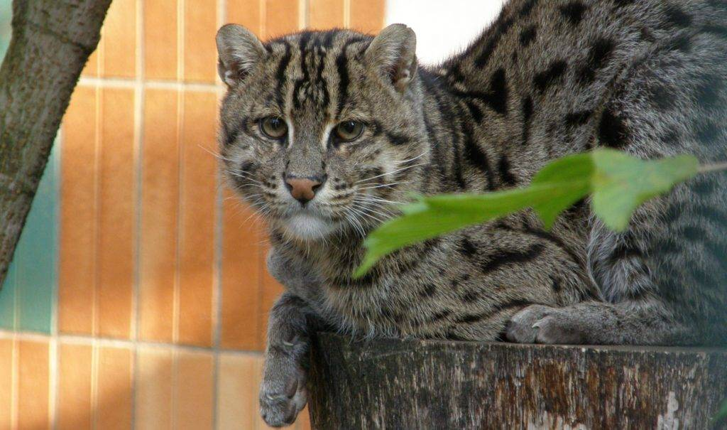Кот рыболов: виверровый, водяной, порода
