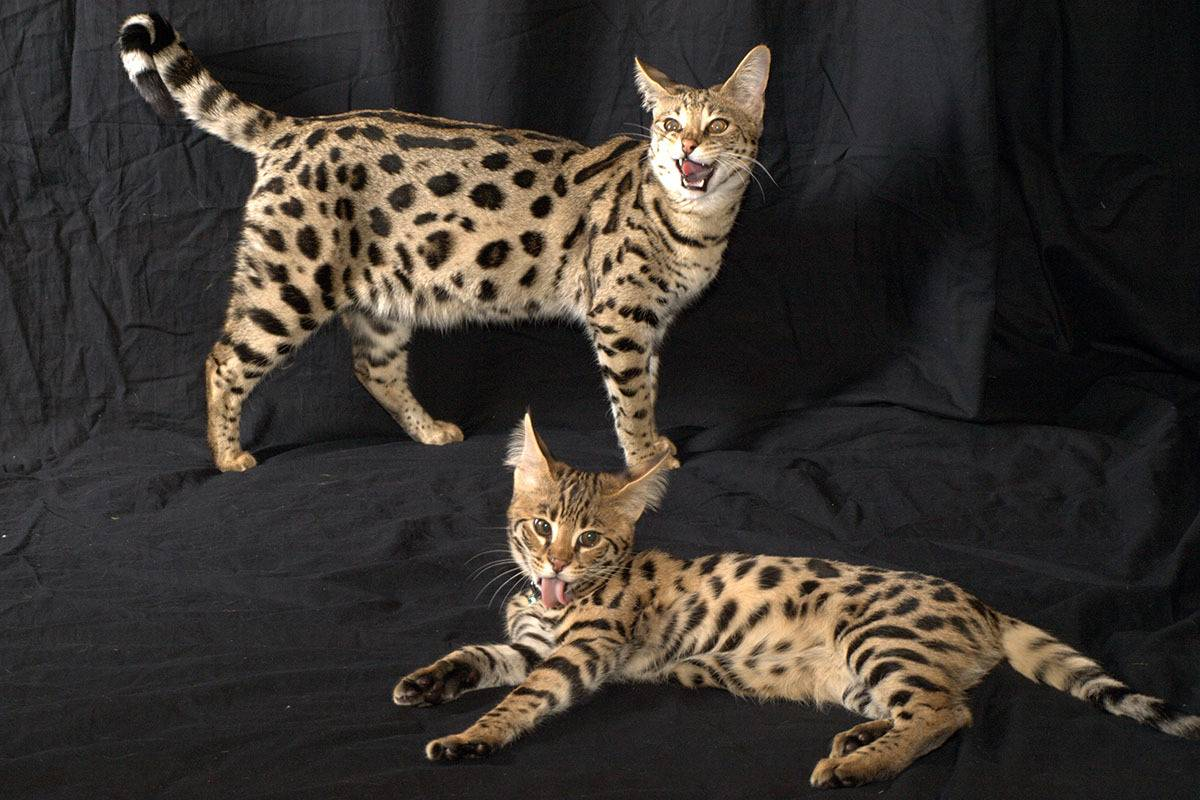 Топ-10 самых дорогих кошек в мире