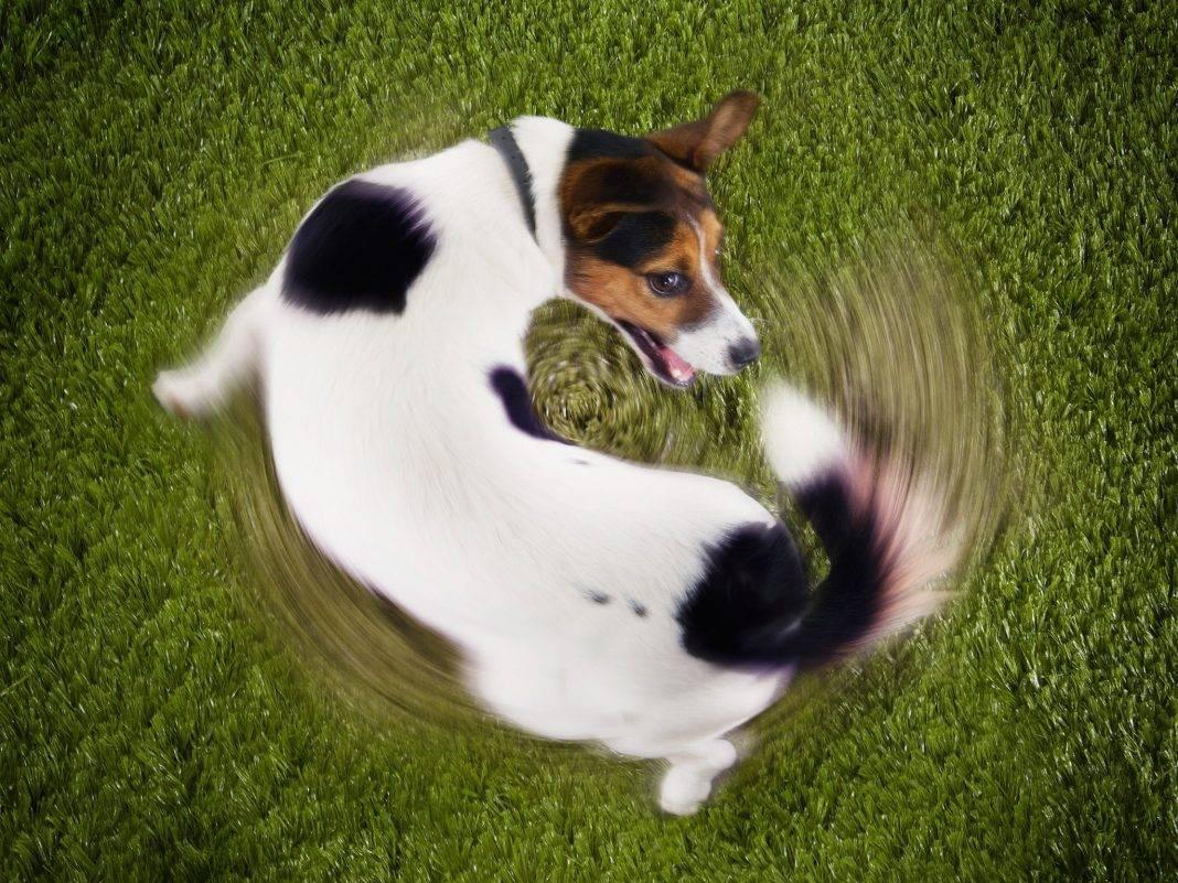 Собака бегает за хвостом: забавная выходка любимца или повод насторожиться