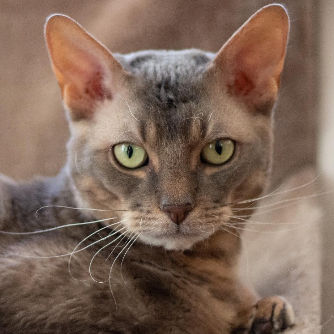 Порода кошек немецкий рекс: фото, видео, о породе, характере