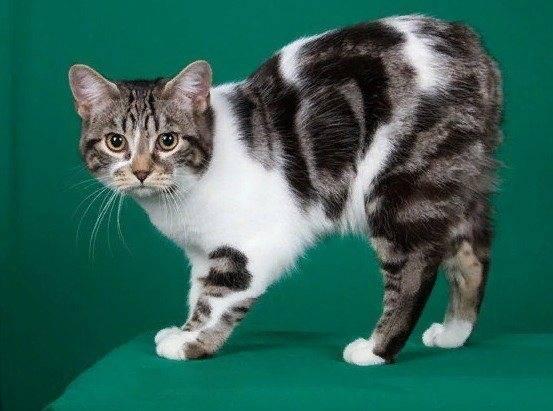 Мэнкс (manx, мэнская бесхвостая кошка) кошка: подробное описание, фото, купить, видео, цена, содержание дома