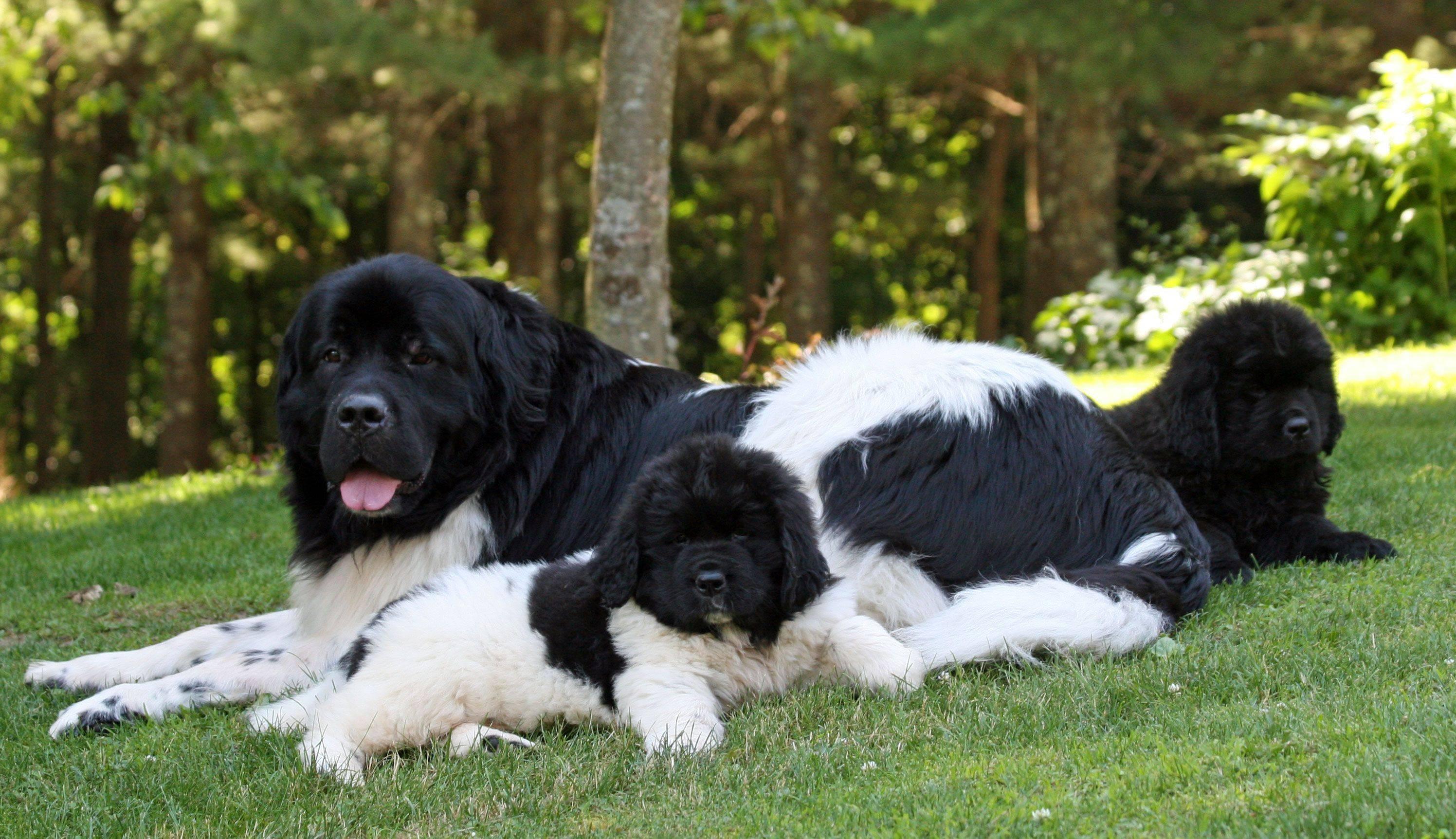 Порода собак прайтер: одомашненные и незлые питбультерьеры