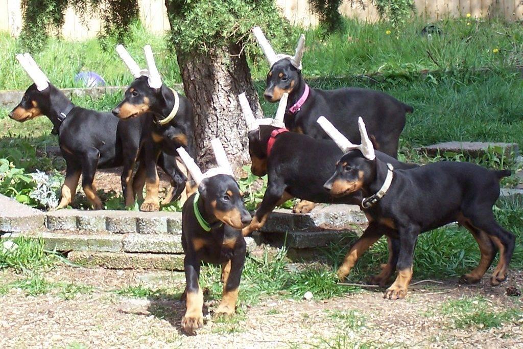 Почему собакам не нужно обрезать уши и хвосты: все причины